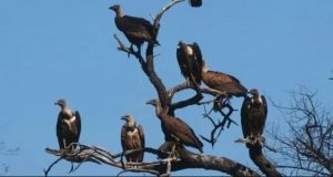 Central government made a five-year plan to save the vultures
